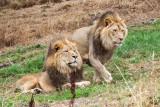 Lions, Oakland Zoo