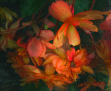 Fall Begonias