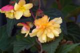 Fall Begonias II