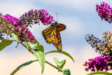 Monarch 2017
