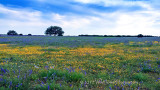 Texas 41 Super-bloom