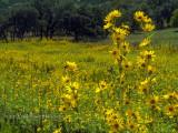 Expanse of Maximilian Sunflowers 2