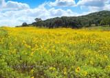 Expanse of Maximilian Sunflowers