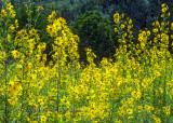 Maximilian Sunflowers