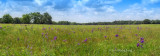Bluebell Field Panorama