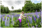 Checking out the lupines