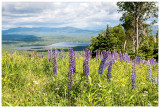 Lupines with a view