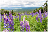 Back to the lupines