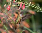 Rufous Hummingbird - female