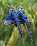 Hyacinth Macaws hanging on a phone line