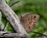 Common Wood-nymph Butterfly