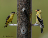 Lesser Goldfinch & American Goldfinch