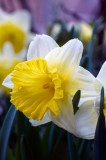 Daffodil @f8 D700