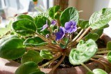 African violets @f8 D800E