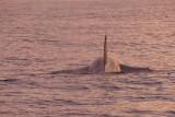 P1220145 orca vk.jpg