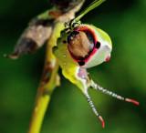 Större gaffelsvans (Cerura vinula).jpg