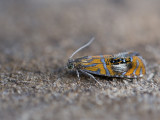 Micro nachtvlinders / Micro Moths