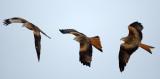 Glador (Milvus milvus) - Red Kites