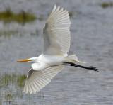 Egret in Flight_0812.jpg