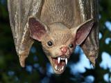 Vampire Bat_3412.jpg