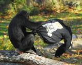 Chimp_0820.jpg