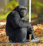Chimp_0964.jpg