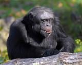 Chimp_0989.jpg