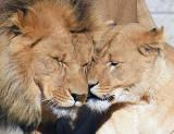 Lion Nuzzle_1497.jpg