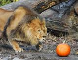 Lion_1523.jpg