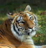 Tiger_1377.jpg