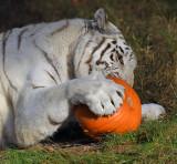 Tiger_1868.jpg