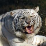 Tiger_2006.jpg