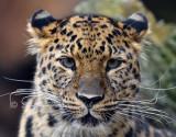 leopard_8803.jpg