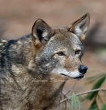 red wolf_8744.jpg
