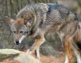 red wolf_8764.jpg