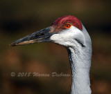 Red Crane_0366.jpg