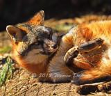 Red Fox_0731.jpg