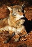 Red Wolf_0313.jpg