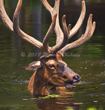 Elk_6392.jpg