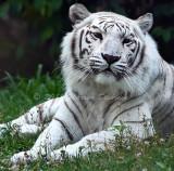 Tiger_5928.jpg