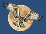 osprey_moon_2_net.jpg