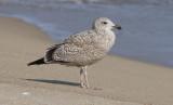 Vega Gull (Larus vegae)