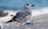 Taimyr Gull (Larus taimyrensis) or Birula Gull (Larus birulai)