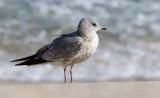 Kamchatka Gull (Larus canus kamtschatschensis)