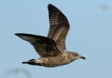 Slaty-backed Gull / Western Gull?