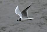 Saunders's Gull (Larus saundersi)
