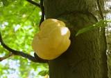 Pruikzwam (Hericium erinaceus)