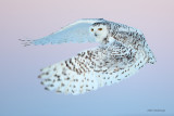 Snowy Owl - Spring Is In The Air