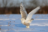 Snowy Owl - Hey, This Is Not the Arctic!
