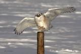 Snowy Owl - Picket Patrol